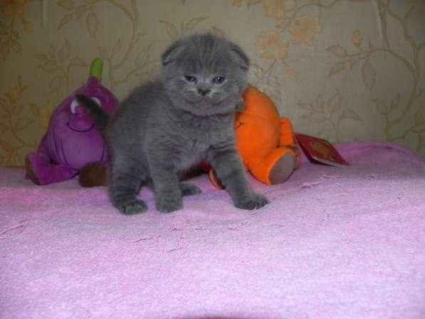 британские и шотландские котята