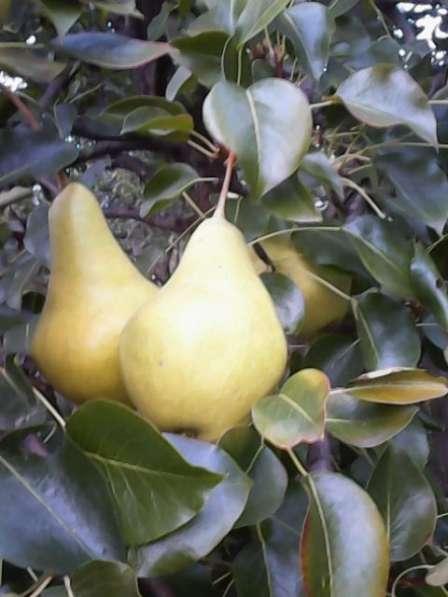 Саженцы морозостойких сортов яблони и груши.