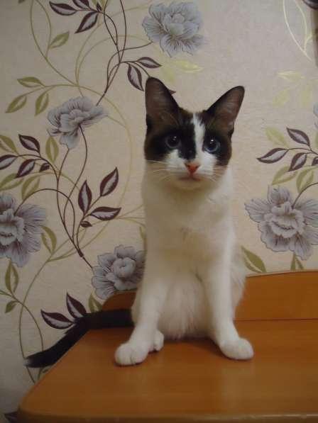 Котята породы Сноу Шу в Екатеринбурге фото 3