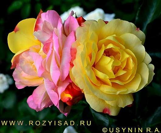 Саженцы роз почтой по РФ