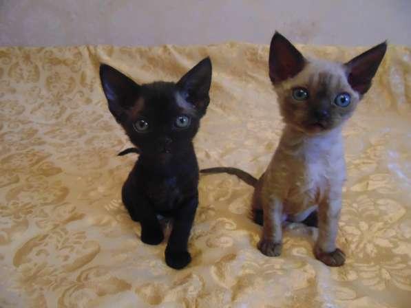 Котята Девон Рекс 2 месяца - кудрявые эльфы