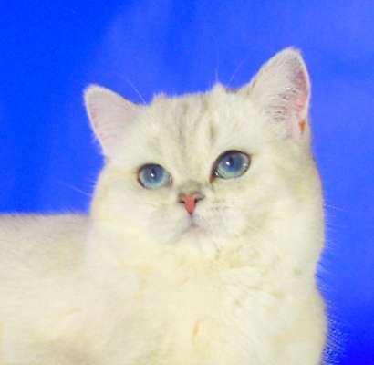 Котята серебристая шиншилла поинт