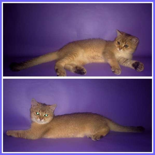 Золотые британские котята в Новосибирске фото 4