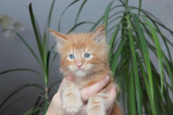 Замечательные котята мейн-кун ждут мамочек)
