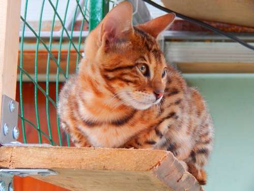 Продаются бенгальские котята крупная розетка на золоте