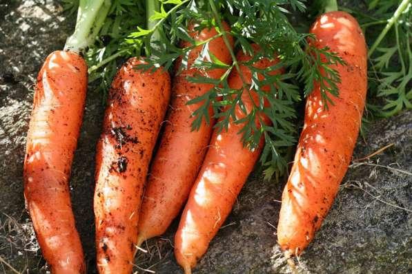 Продам крупную морковь сорт- русский великан