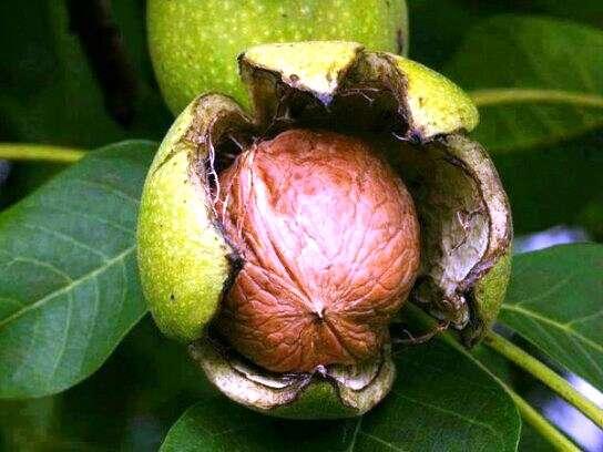 Саженцы декоративных плодовых ягодных растений зкс