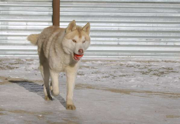 Щенки Сибирского хаски в Новосибирске фото 3