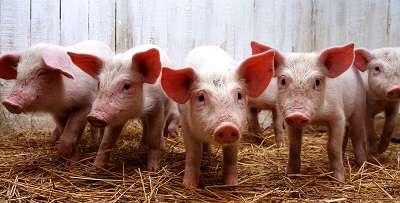 Строительство свинарник свиноферму каркасы сэндвич панелей п