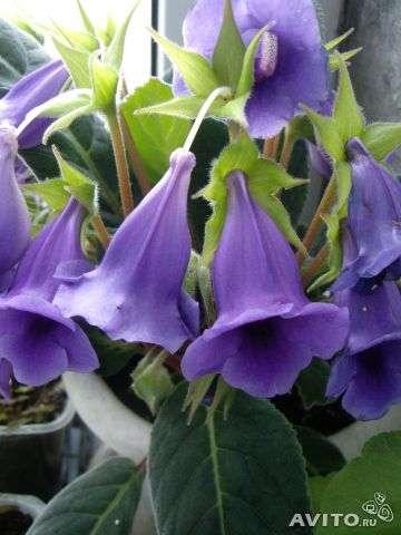 Тидея, молодое растение