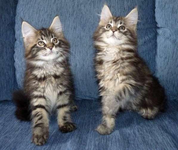 Котята мейн-кунчики
