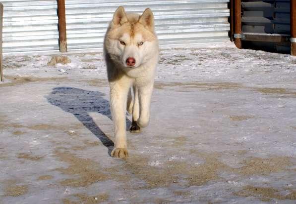 Щенки Сибирского хаски в Новосибирске фото 4
