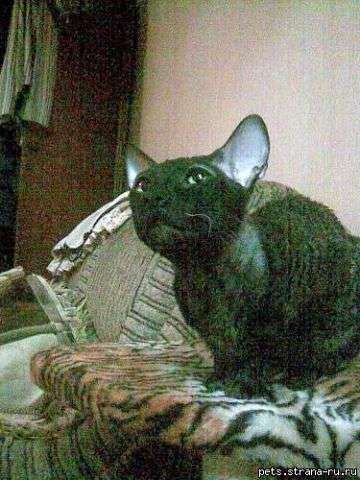 Корниш рекс предлагает вязку кошкам