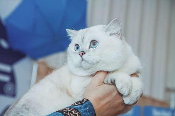 Чистокровные британские котята драгоценного окраса