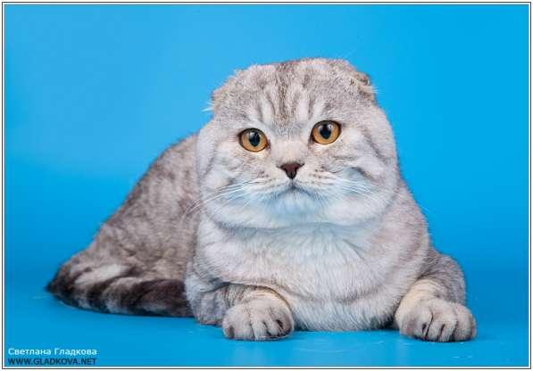 Шотландский вислоухий кот для вязкок