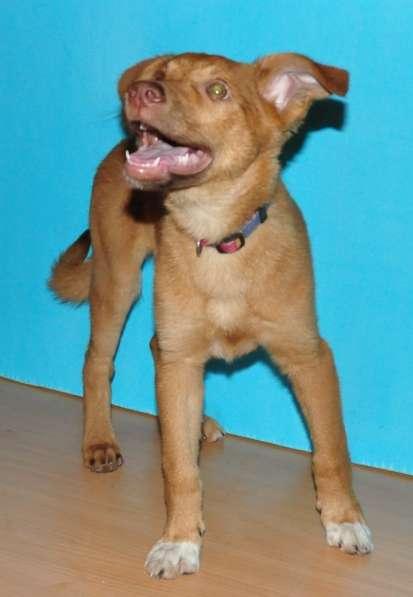 Рыжая лопоухая собака-улыбака