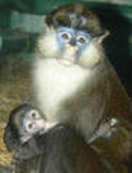 заведите обезьянку