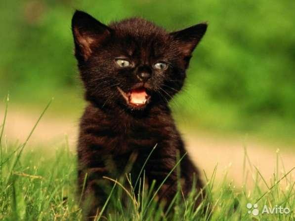 Шотландский котенок