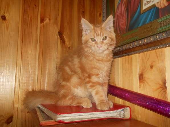 Продам шикарного котика мейн куна