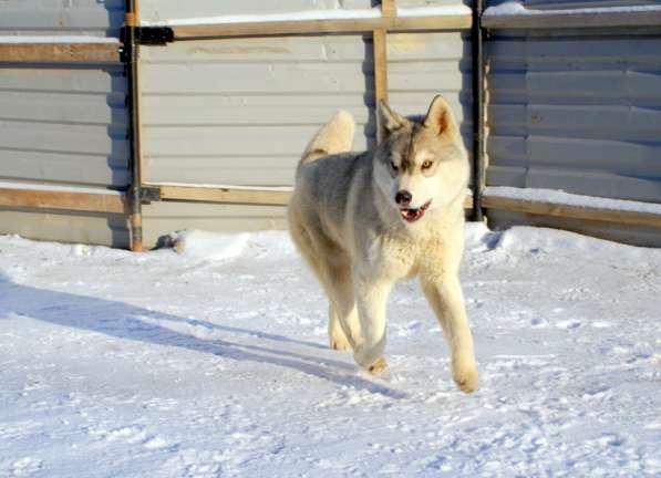 Щенки Сибирского хаски в Новосибирске фото 10