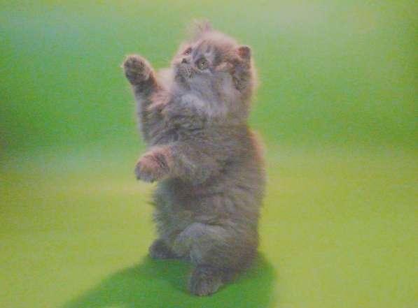 Клубный персидский котенок