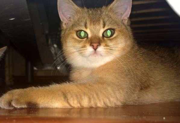 Золотые британские котята в Новосибирске