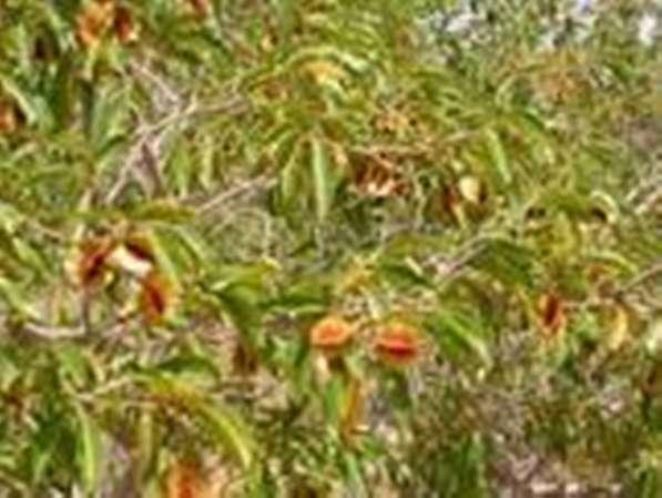 Кинкелиба. Чай здорового долголетия. Продукт из Африки