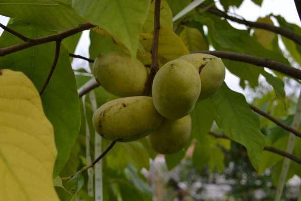 Азимина - съедобный банан.