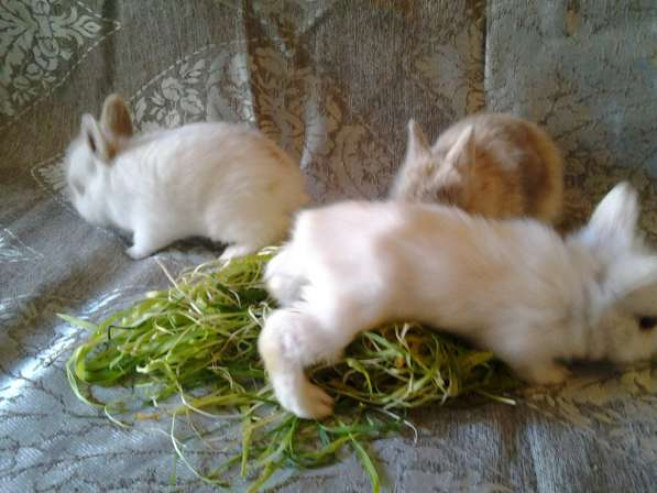 Продам карликового крольченка