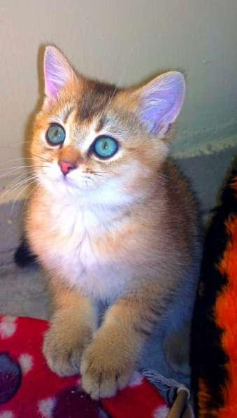Золотые британские котята в Новосибирске фото 3