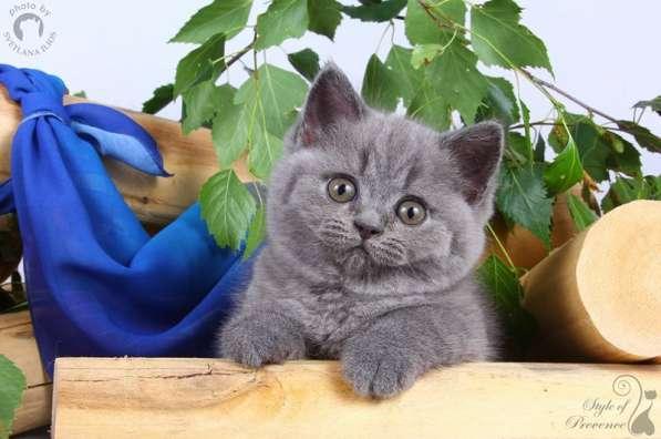 Британские котята - голубая британская кошечка