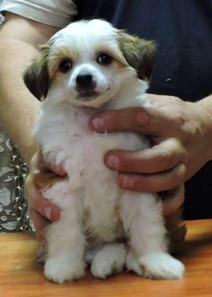 китайская хохлатая собачка в Адлере