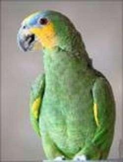 попугай Венесуэльский Амазон