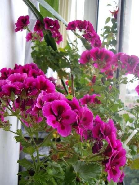 Герань душистая,молодое растение