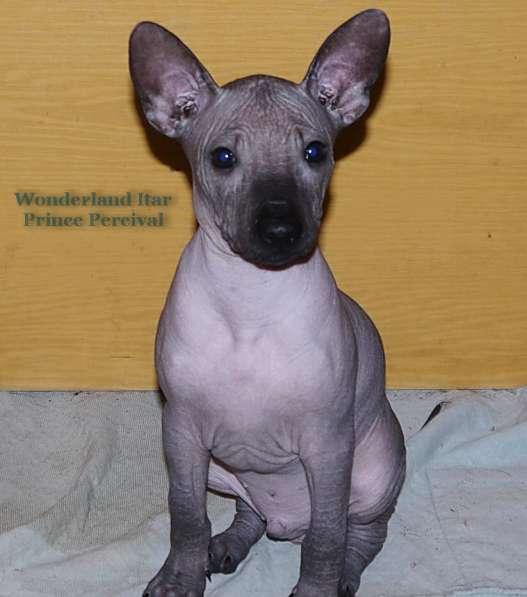 Шикарный щенок ксолоитцкуинтли