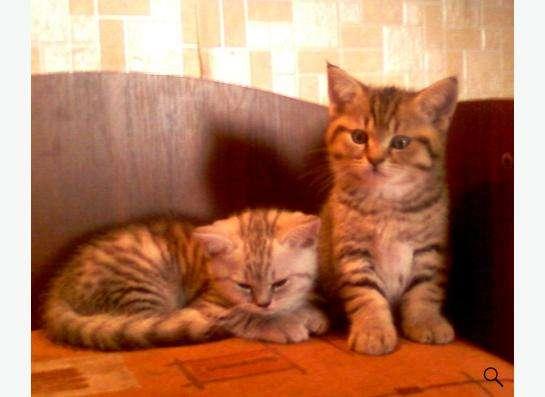 Британские котята тигрового окраса