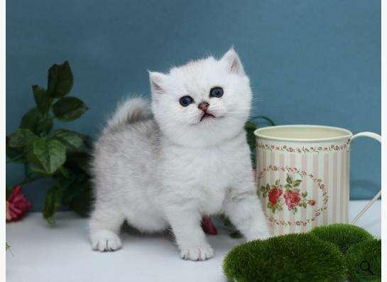 Британские серебристые котята