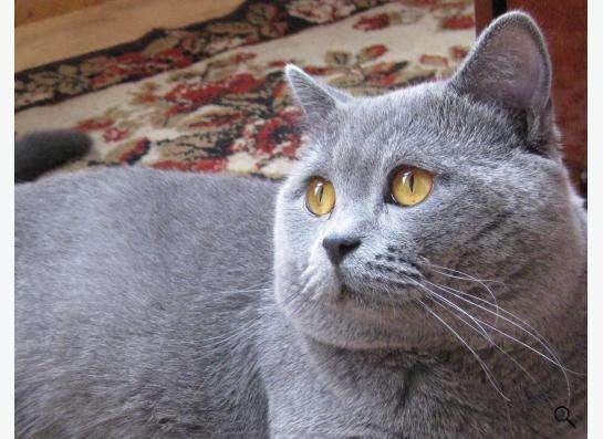 Шотландские котята скоттиш страйт в Екатеринбурге фото 5