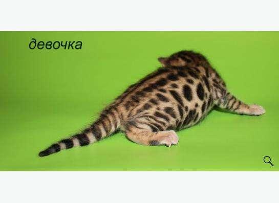 Элитные бенгальские котята в Уфе фото 3
