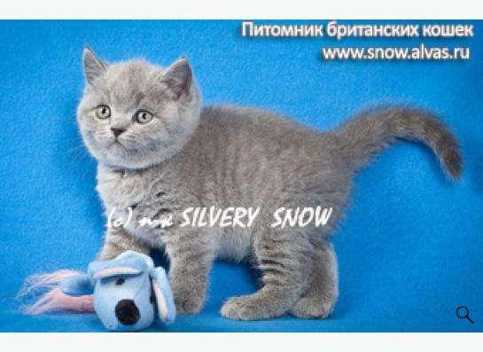 Голубые британские котята. Питомник.
