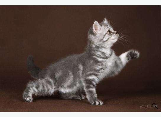 Плюшевые Шотландские котята !!!