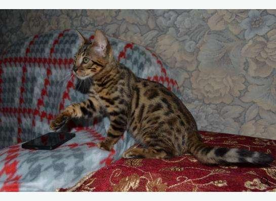 Породистые котята в Кисловодске фото 10