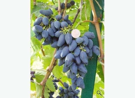 Саженцы элитных сортов неукрывного винограда в Ульяновске фото 5
