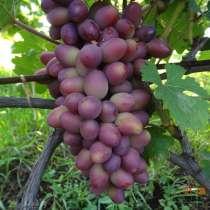 Черенки винограда столовых и винных сортов, в Тамбове
