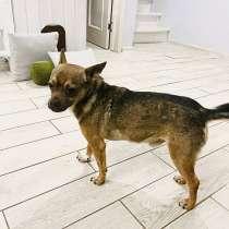 Маленький комнатный песик Тедди (6 кг) ищет дом, в г.Москва