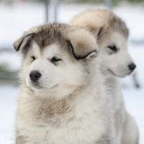 Элитные щенки Аляскинского маламута, в Санкт-Петербурге