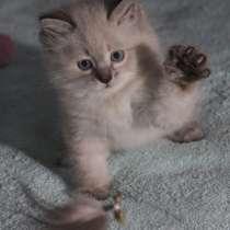 Невские жемчужные клубные котята, в Москве
