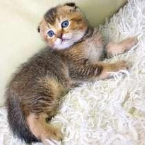 Шотландский вислоухий котик, в Казани