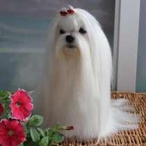 Мальтезе красивые щенки, в Омске