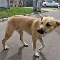 Молодой солнечный пес Кай ищет дом, в г.Москва
